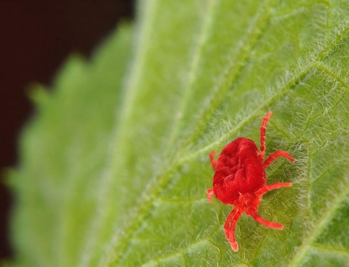 Паутинный клещ - вредитель растений