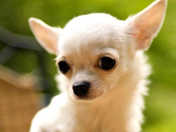Карликовая собака