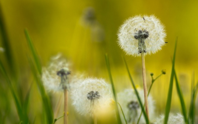 К каким растениям относится одуванчик