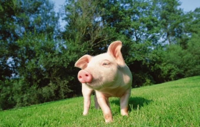 Домашняя свиноферма