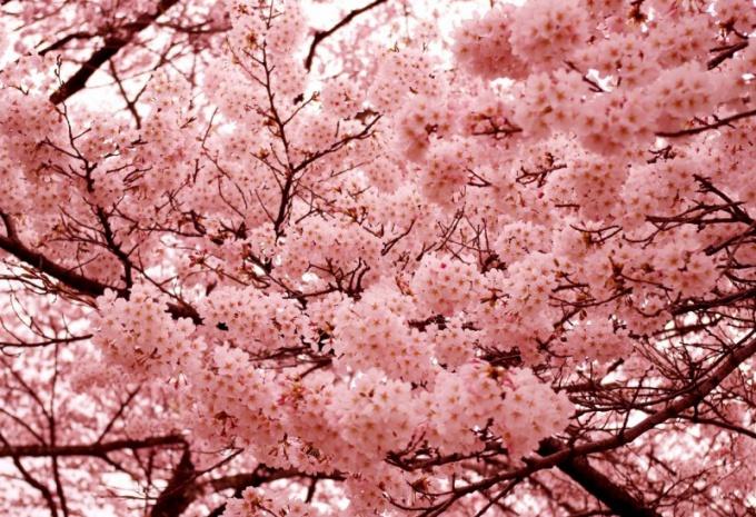 Почему сакура является символом Японии