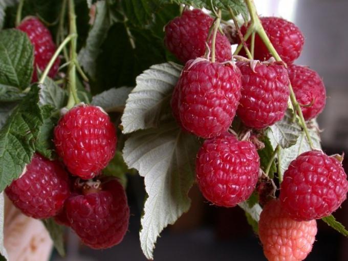 Remontant raspberry