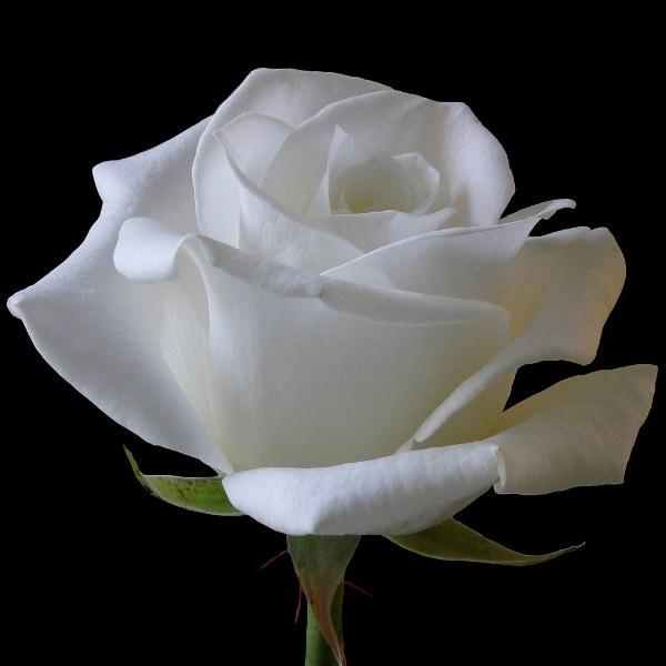 Символом чего является белая роза