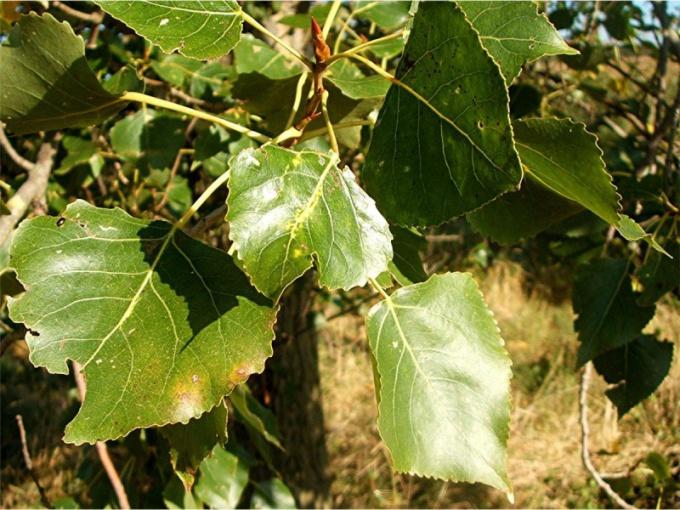 Листья и почки черного тополя