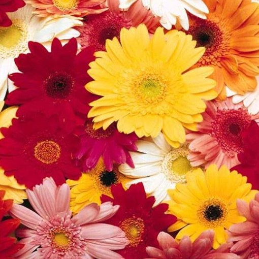 What are the names of colorful daisies