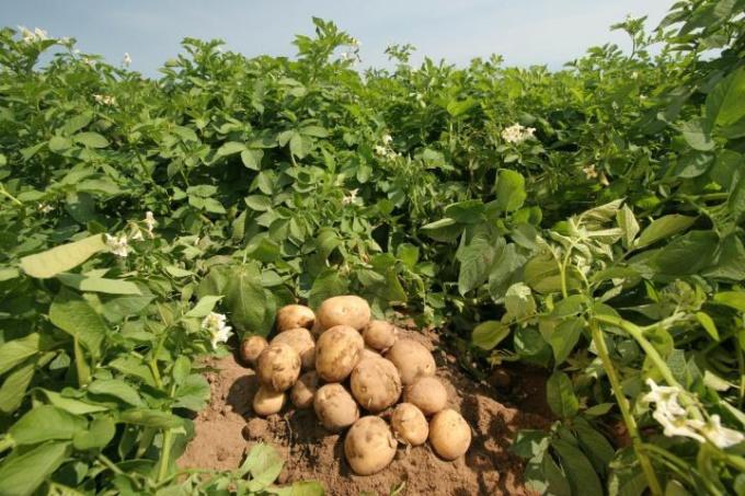 Как часто нужно поливать картофель
