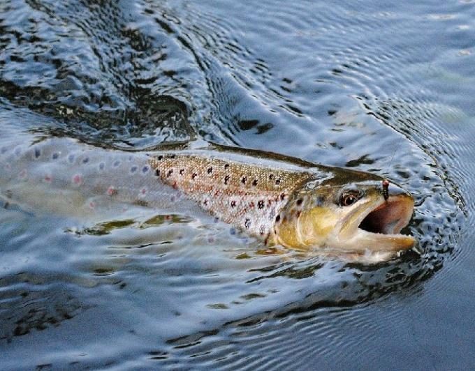 Как ловить речную форель