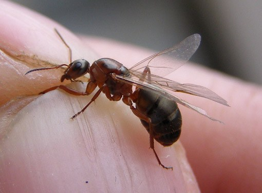 Как избавиться от крылатых муравьев
