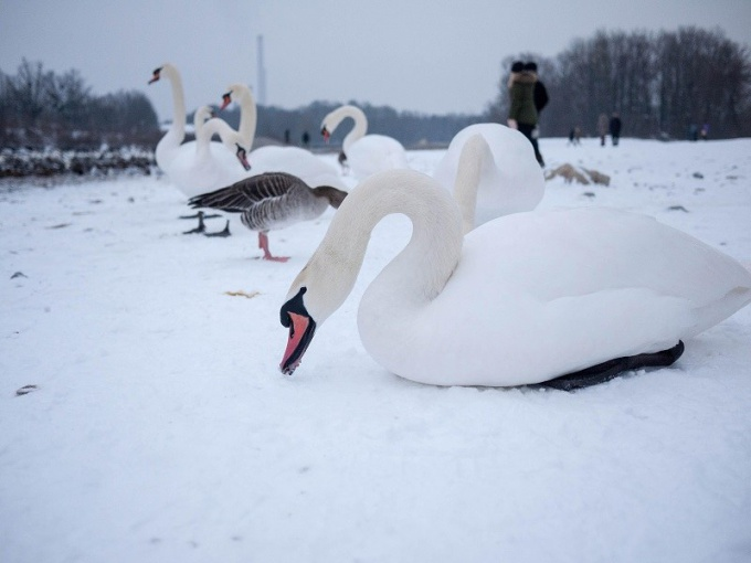 Лебеди зимой (использовано фото с сайта Morguefile)