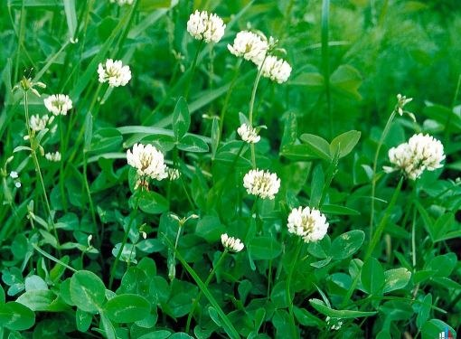 A lawn of clover looks better than classic