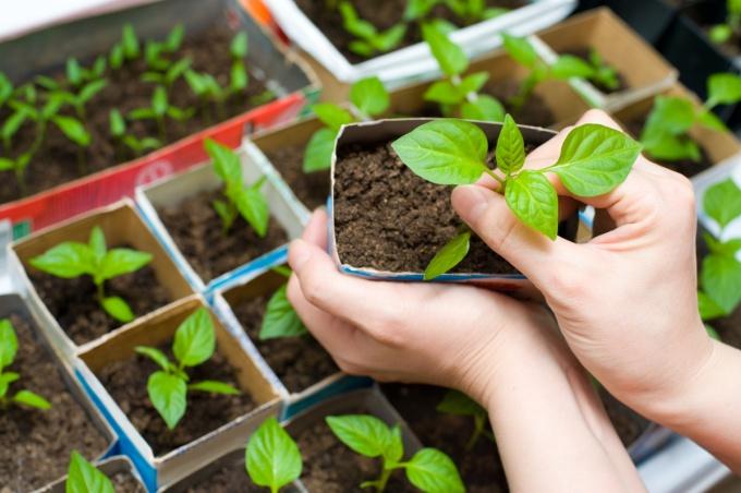 Как правильно сеять рассаду и когда этим заниматься