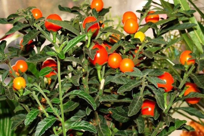 Комнатный паслен: помидоры на подоконнике
