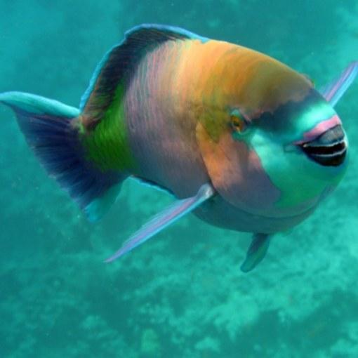 Что собой представляет рыба-попугай