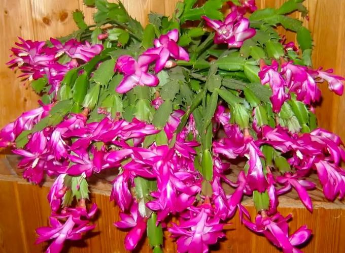 Цветок декабрист: особенности ухода