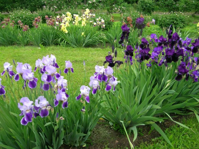 How to care for irises after flowering