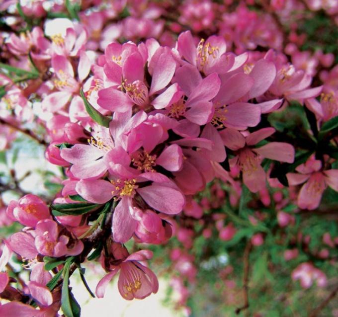 Almond Pink foam