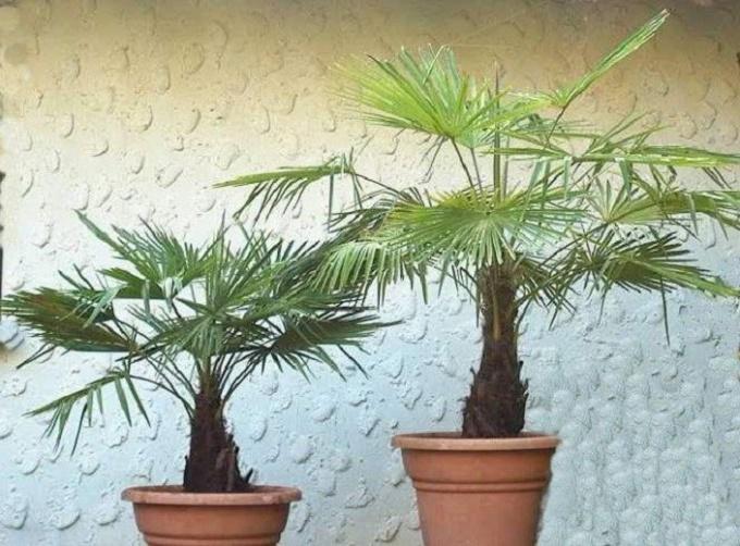 Китайская веерная пальма