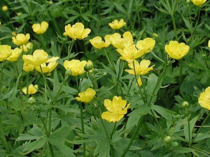 Цветок куриная слепота: лечебные свойства и вред