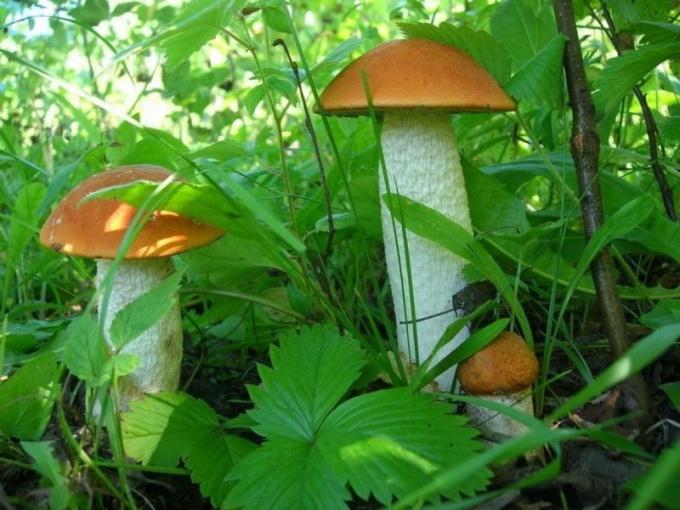 Какие грибы растут в мае