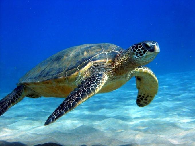 Чем знаменита зеленая морская черепаха