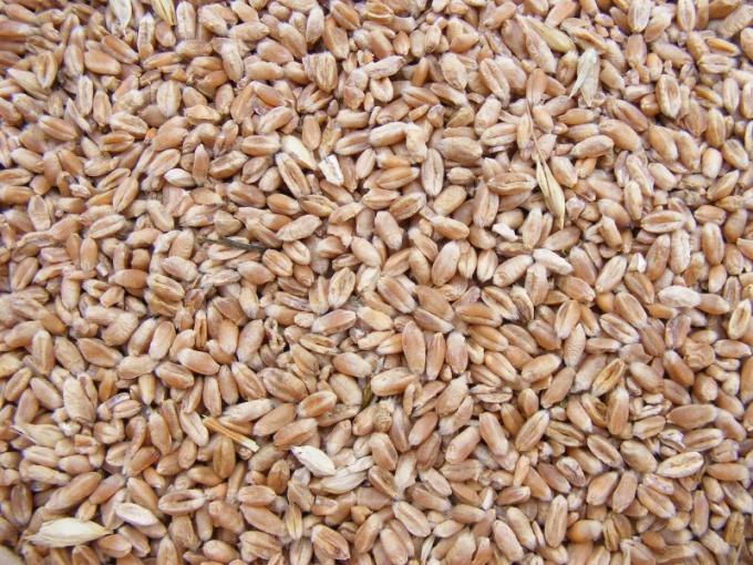Чем отличаются твердые и мягкие сорта пшеницы