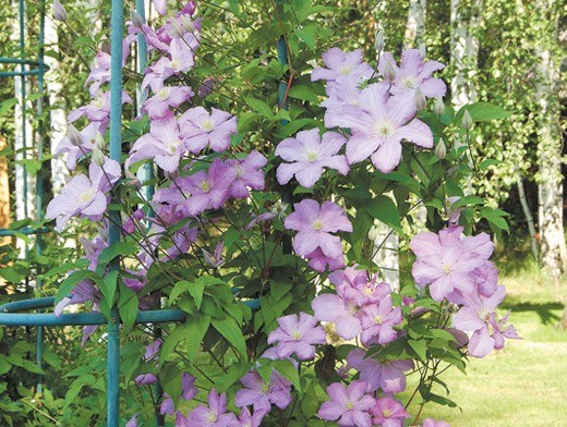 Clematis on a metal pole