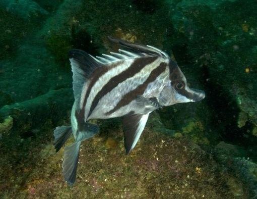 Трехполосая рыба-кабан, обитающая у берегов Австралии