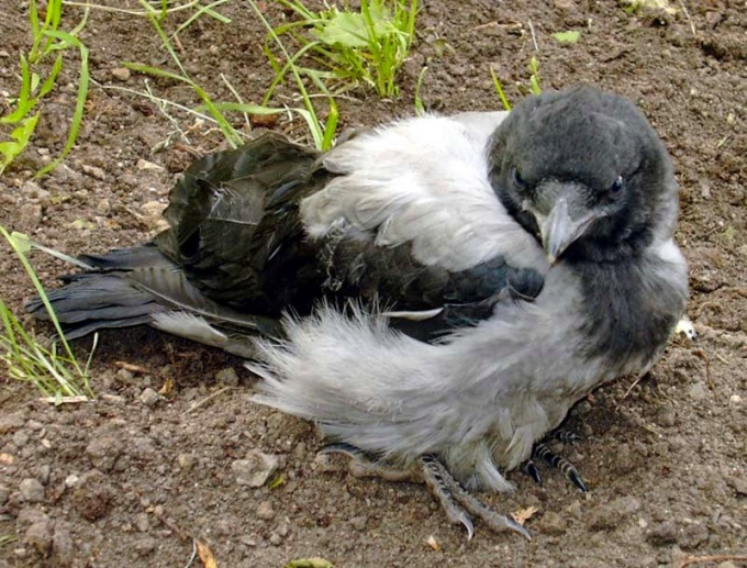 Reared house crow can be a real friend