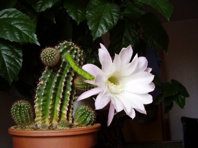Why not cactus blooms home