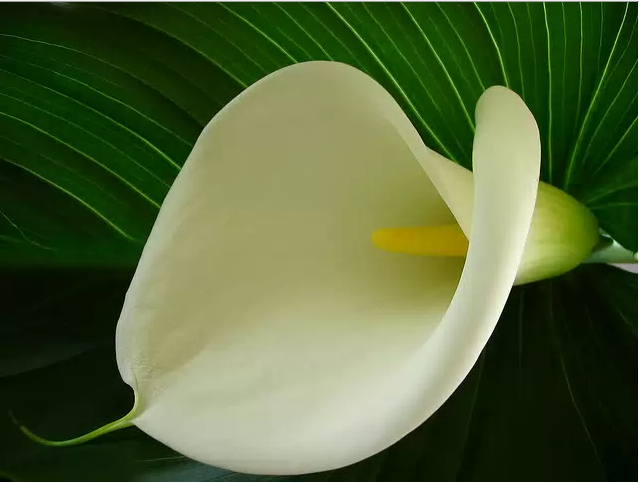 Why yellow leaves Calla