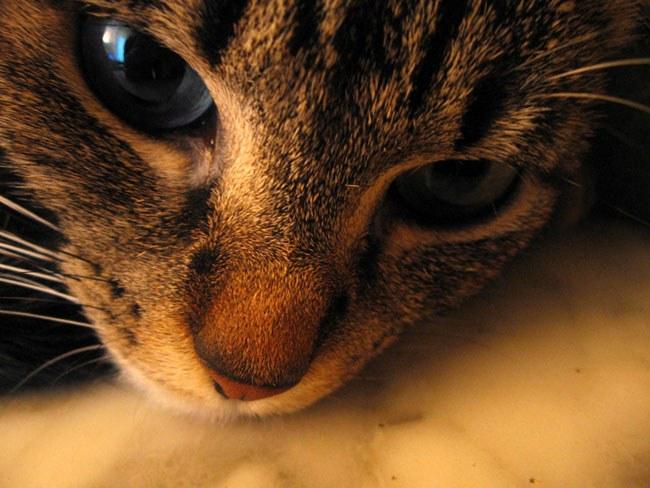 Чумка - одно из самых опасных кошачьих заболеваний