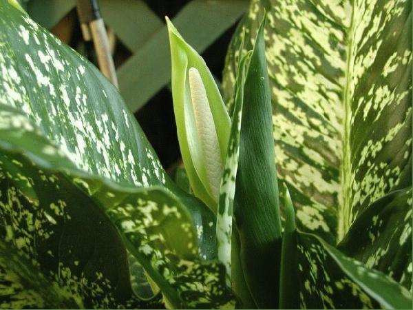 Цветок диффенбахии представляет собой початок