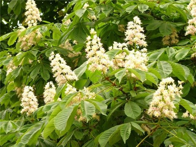 Использование цветов каштана в народной медицине