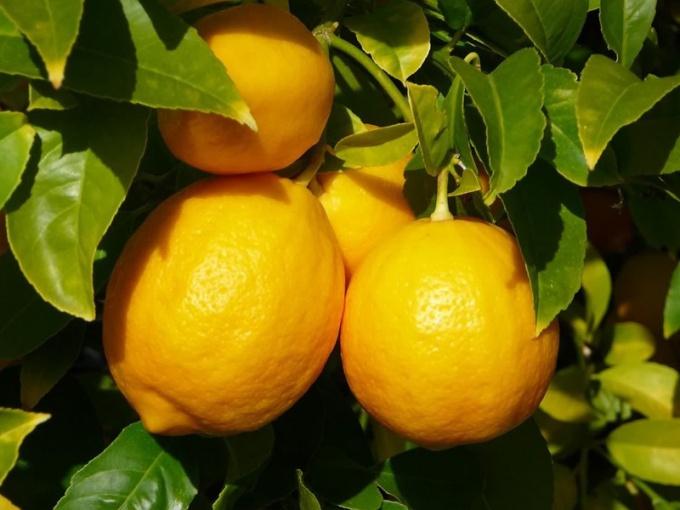 Какие существуют сорта лимонов