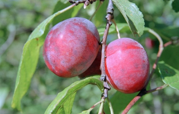 Pests and diseases of plum