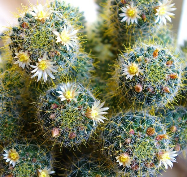 Home cacti: harm and benefit