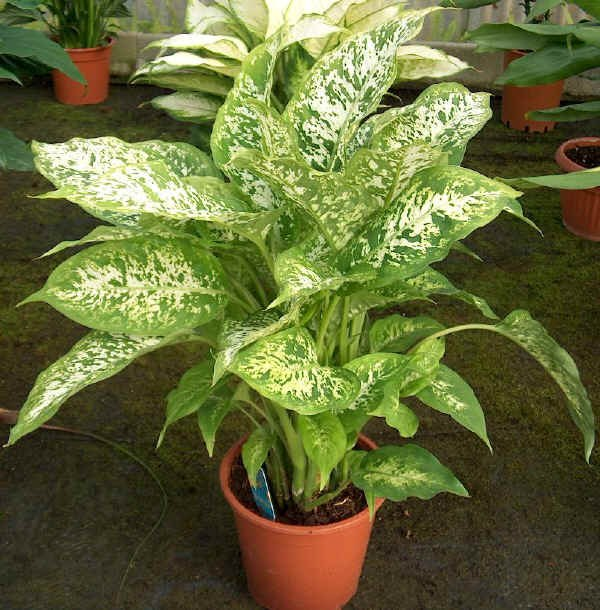 Is it possible to keep the house dieffenbachia