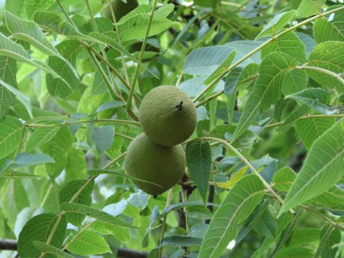 Настойки маньчжуркого ореха обладают широким спектром действия