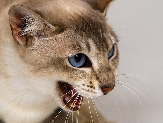 Ринотрахеит у кошек: симптомы, лечение и профилактика