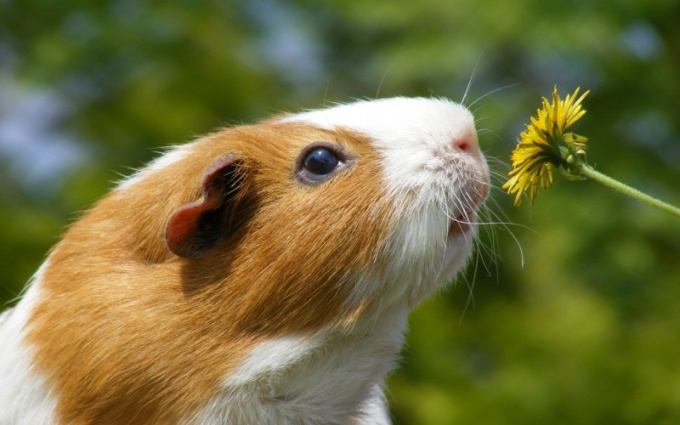 Smooth-haired Guinea pig.
