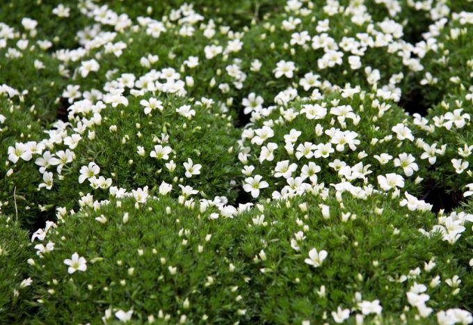 Трава бадан. Как ухаживать за лекарственным растением, собирать и применять?