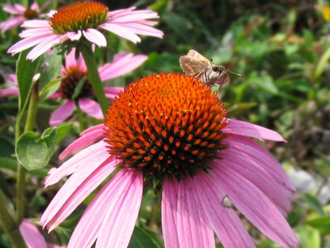 How to use Echinacea to strengthen the immune system