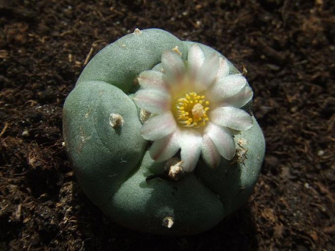 Какие кактусы содержат наркотическое вещество