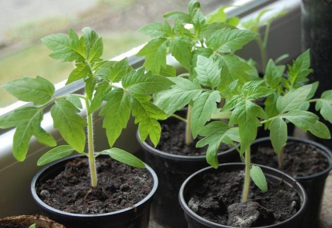 Как вырастить из семян рассаду перцев и помидор