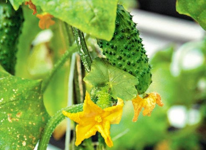 What you need to do to the cucumber leaves are not yellowing