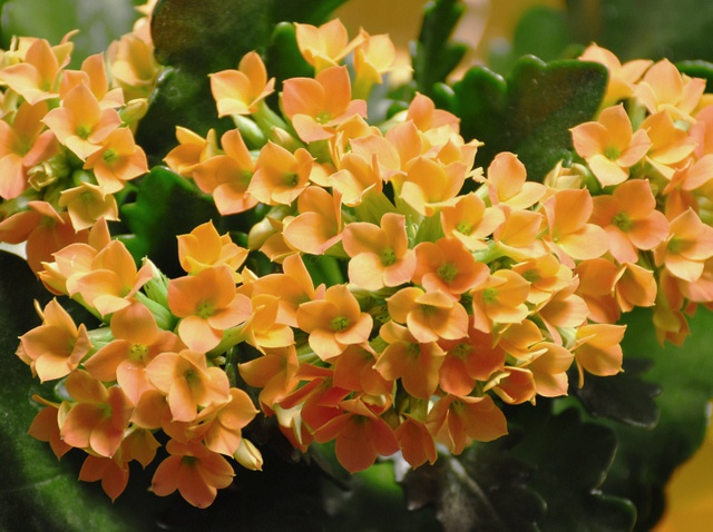 Kalanchoe: home care