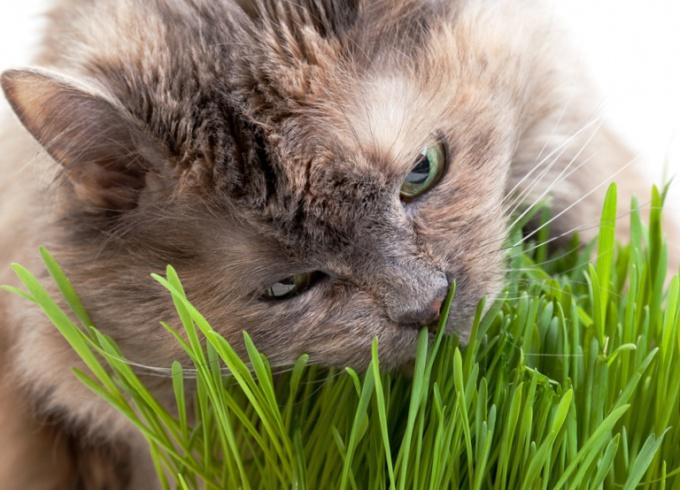 Трава для кошек - как вырастить дома