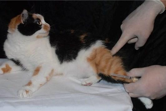 Как поставить кошке укол