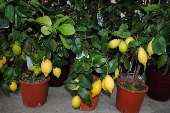 Как ухаживать за комнатным лимоном