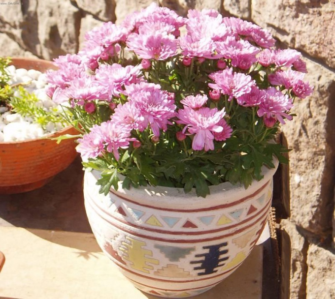 How to grow chrysanthemum from the bouquet house